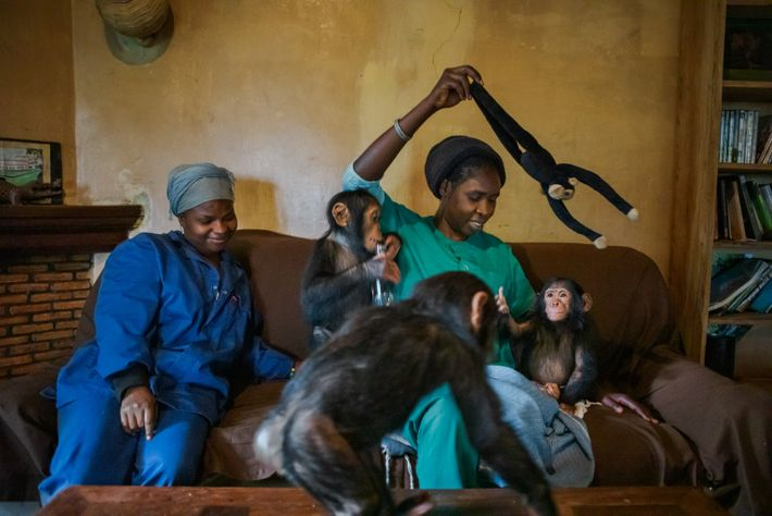 Lina Nturubika (right) is a Congolese veterinarian who has worked at Lwiro since 2014. She studied ...