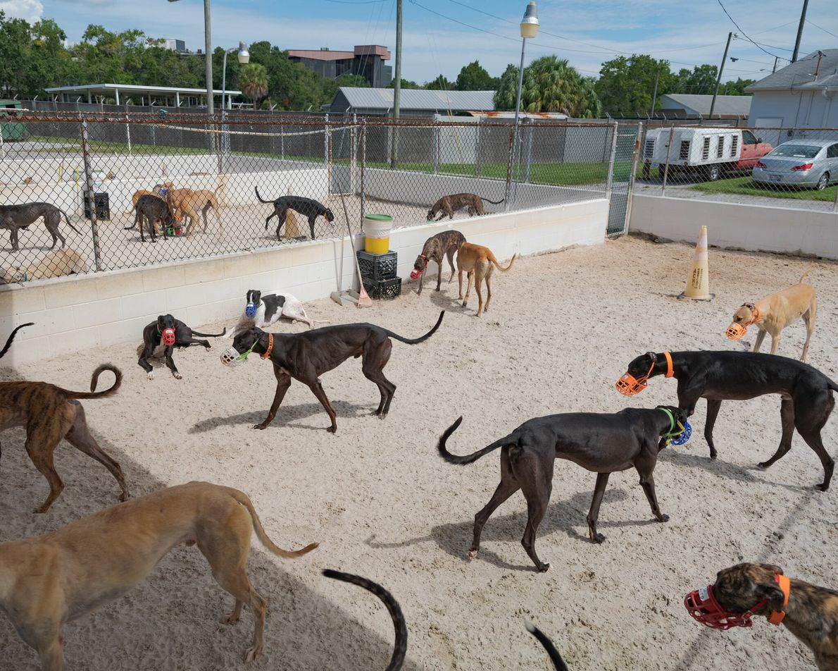 Racing greyhounds roam at a kennel in Florida. Though generally gentle and non-aggressive, the dogs often ...
