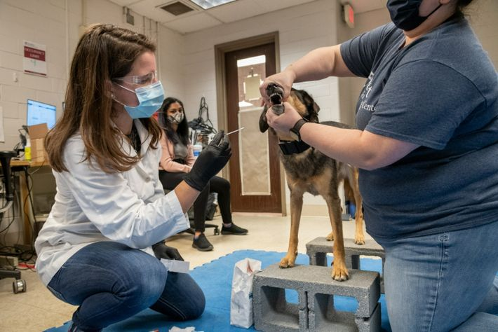 Meghan Ramos, a sports medicine and rehabilitation resident at the Working Dog Center, swabs the inside ...