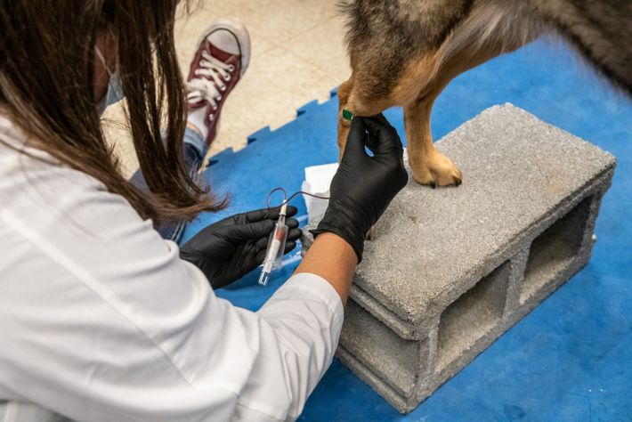 Researchers take blood samples and mouth swabs before the start of the study to ensure the ...