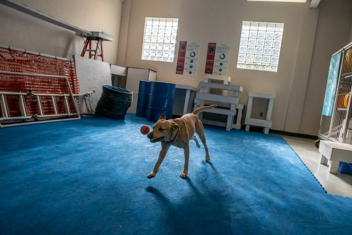 """Roxie, a high-strung yellow Labrador, plays before she begins an experiment. """"She has to play before ..."""