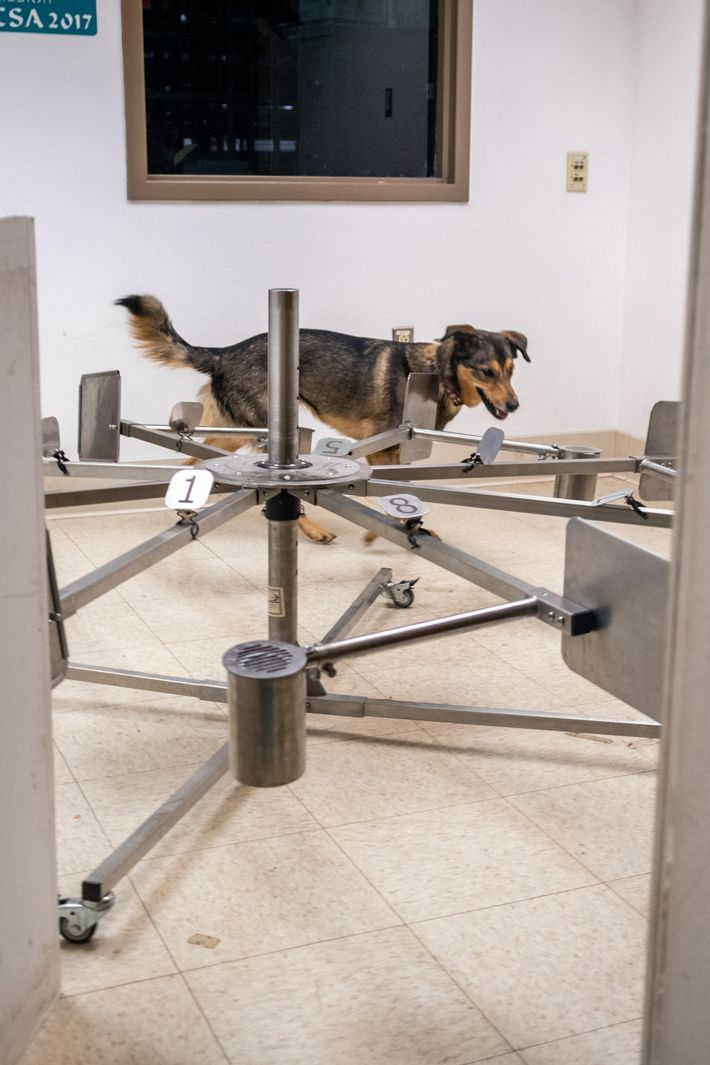 Tuukka, a mix of German shepherd, husky, and border collie, practices her virus detection skills at ...