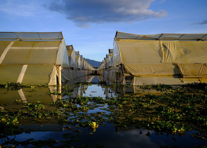 Flower farms surround Lake Naivasha. These greenhouses—built too close to the lake—have flooded. Kenya is the ...