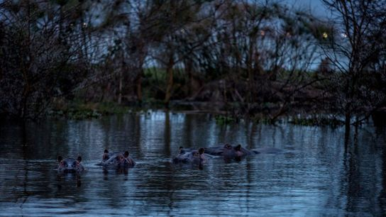 Hippos soak in Lake Naivasha in part of a nature conservancy called Sanctuary Farm that was ...