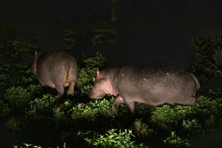Hippos graze at night on Sanctuary Farm. In the 1990s, Kenyan wildlife officials estimated there were ...