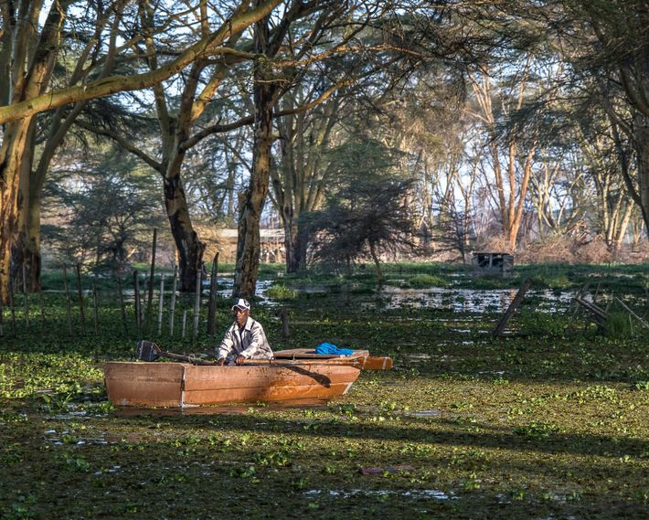 A fisherman returns with his morning catch. The lake's rise has flooded the acacia trees along ...