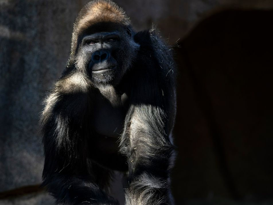 First great apes at U.S. zoo receive COVID-19 vaccine made for animals