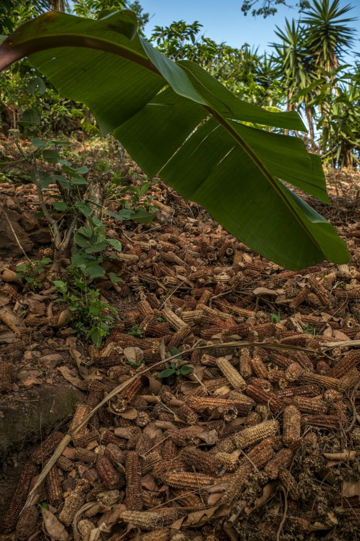 Dry corn husks cover a piece of land in a hamlet called La Palmilla. After storms ...