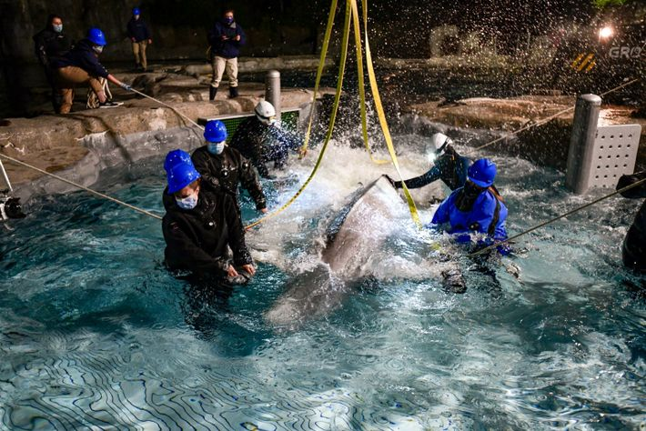 beluga whale 10