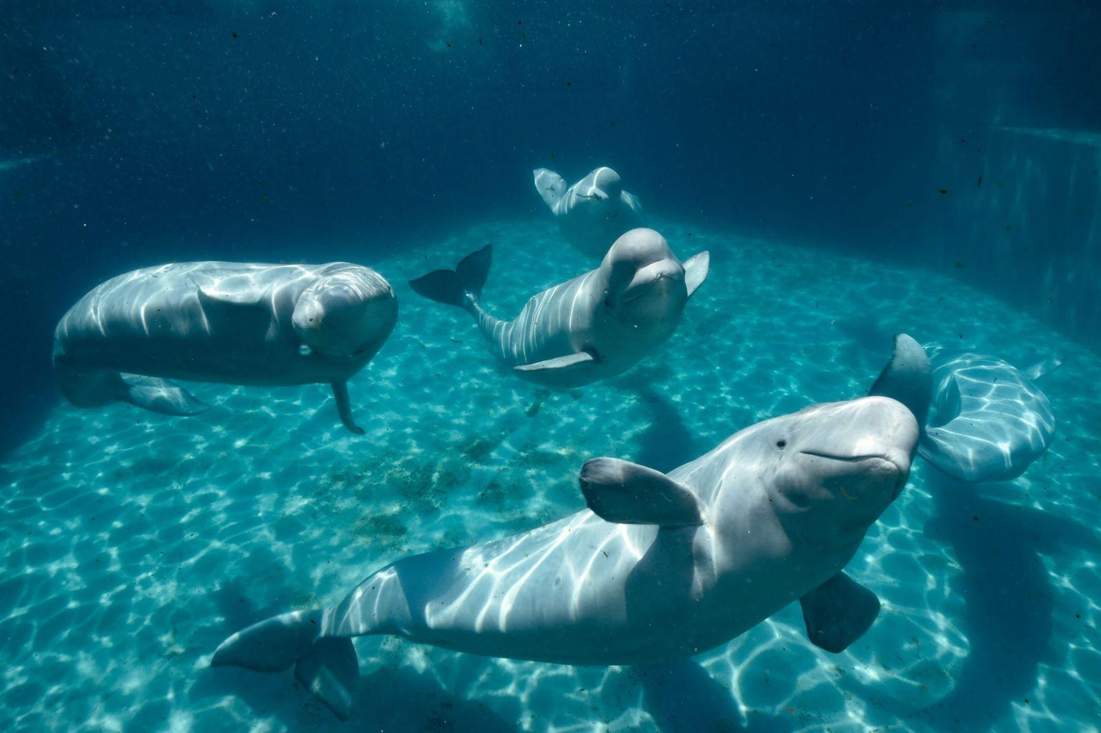 beluga whale 12