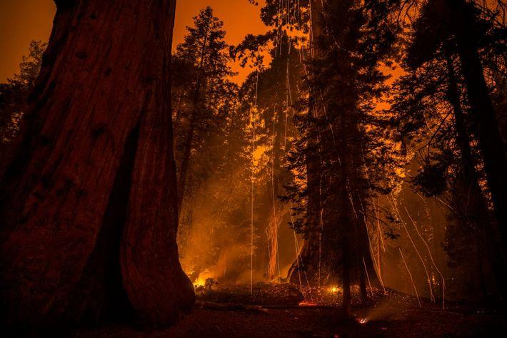 Sequoia sparks