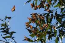 Thousands of monarch butterflies cluster on a eucalyptus tree in Fremont, California, in 2018. This year, ...