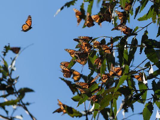 Monarch butterflies denied endangered species listing despite shocking decline