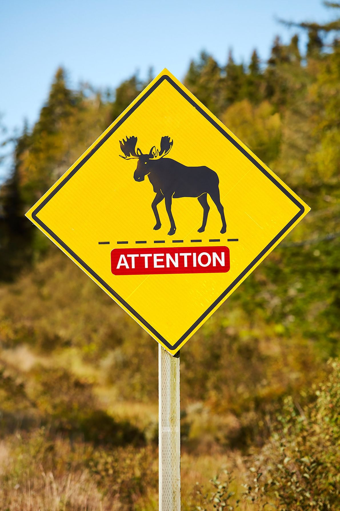 Warning moose signs can be found along the roads in New Brunswick.