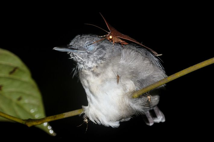 Rude! This moth ('Gorgone macarea') may drink the tears of birds, like this black-chinned antbird, to ...