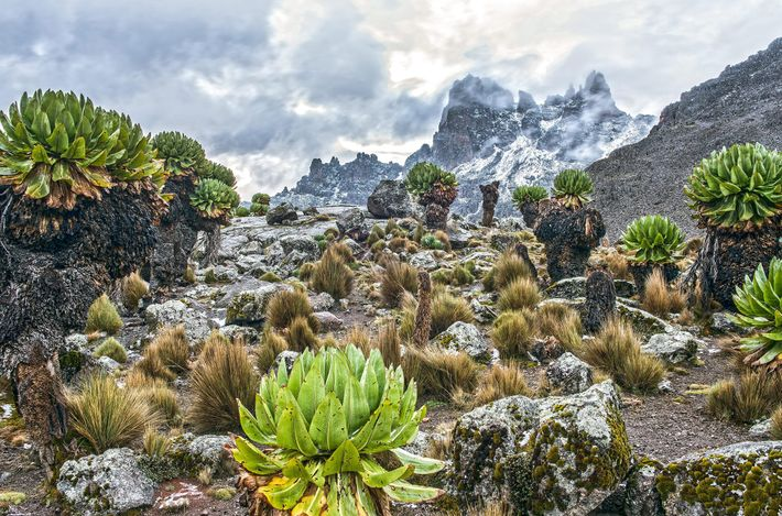Groundsel covers the rocky ground near the last base camp before the ascent of Mount Kenya. ...