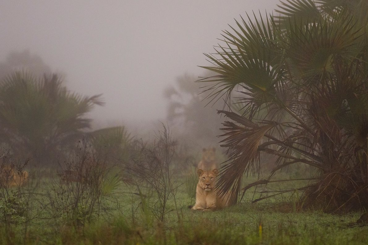 After years of civil war in Mozambique, lions were all but lost in the Zambezi Delta ...