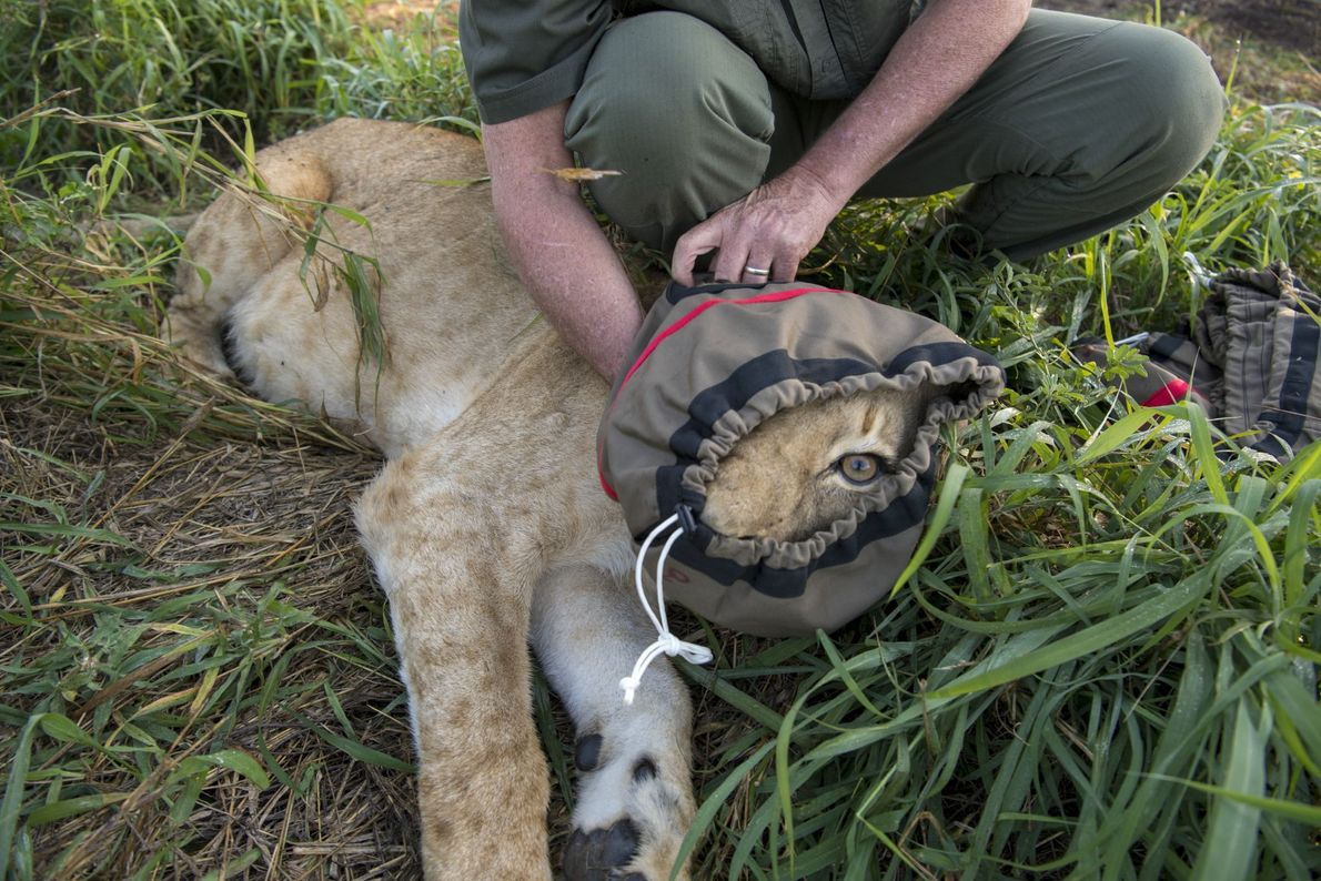In the largest relocation of wild lions in history, 24 big cats were sedated and transported ...