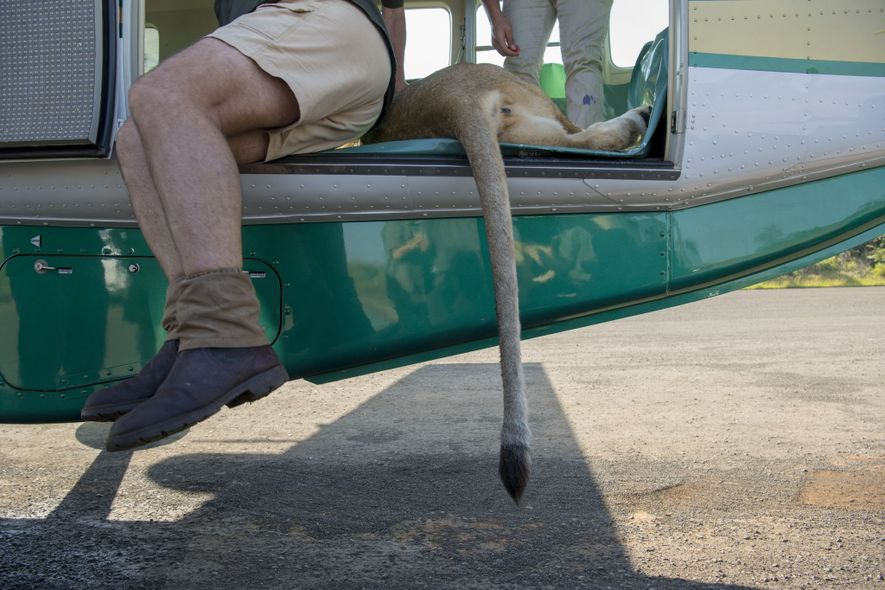 Nine of 24 lions are darted and flown from Tembe and Mkuze game reserves in Kwazulu ...