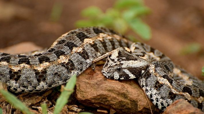 Rare vipers are being poached in Kenya—but some people are grateful 1