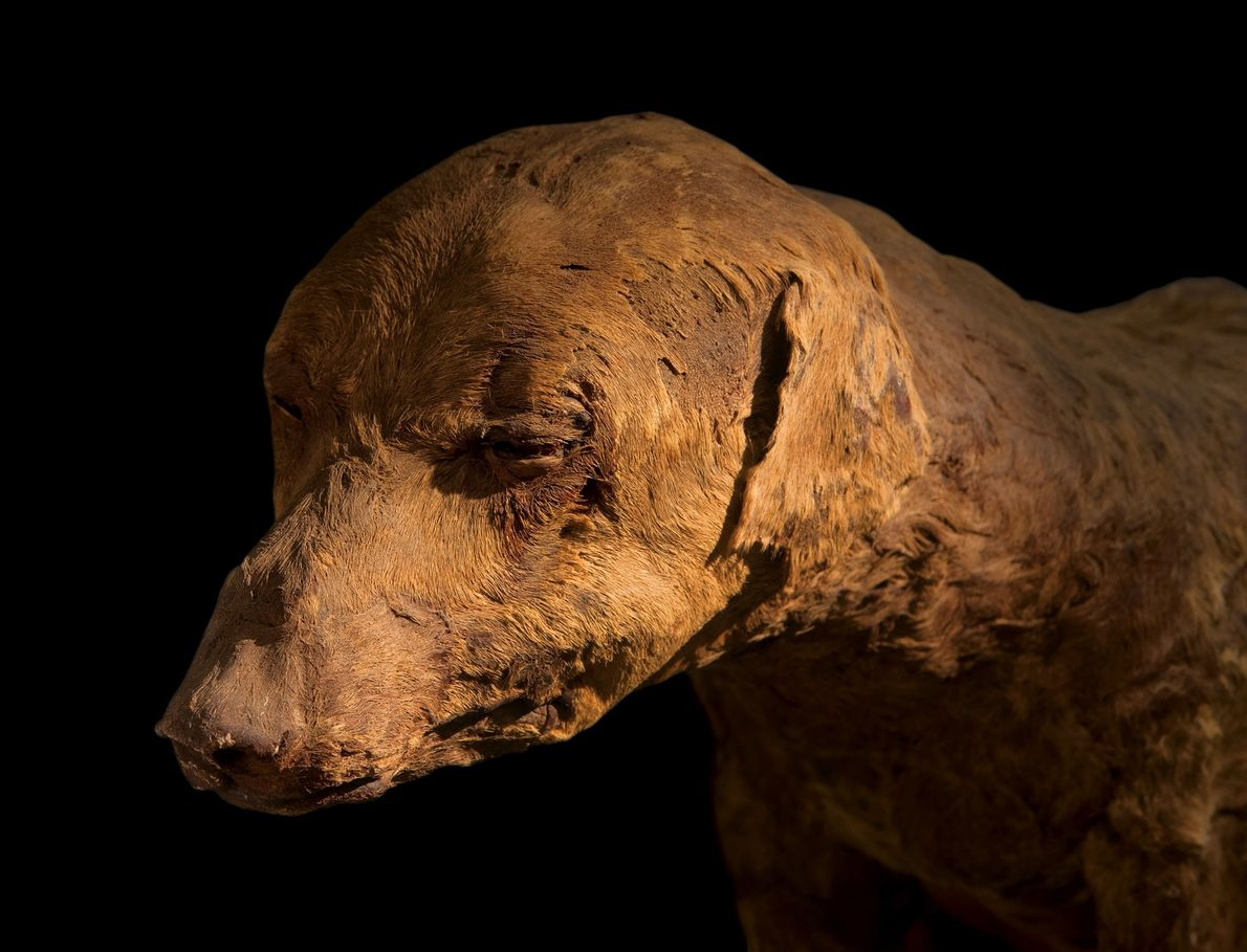 Lovingly preserved, a hunting dog whose bandages fell off long ago likely belonged to a pharaoh. ...