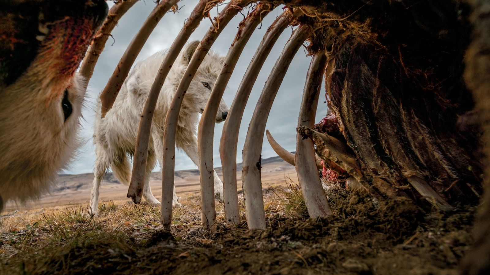 Wolves pick at the remains of a muskox. To get this image, photographer Ronan Donovan placed ...