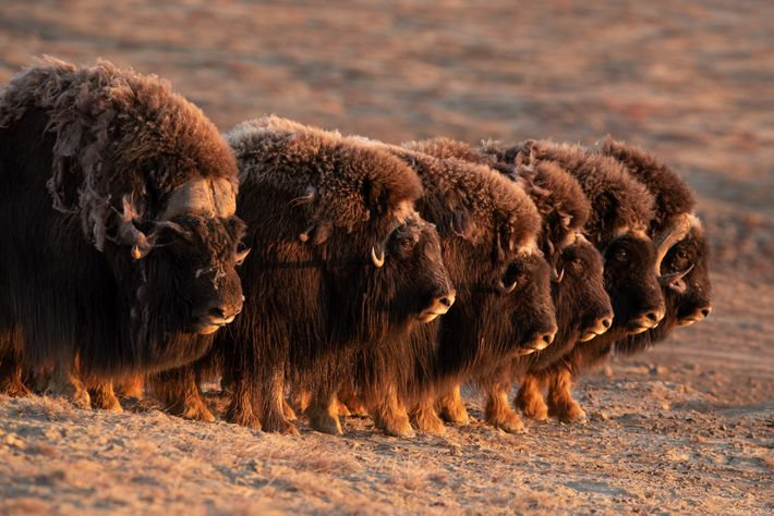 Muskoxen are one of the few prey animals that can work together to form a defensive ...
