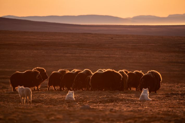 The wolves are wary of the power of muskoxen, showing respect for their hooves and sharp ...
