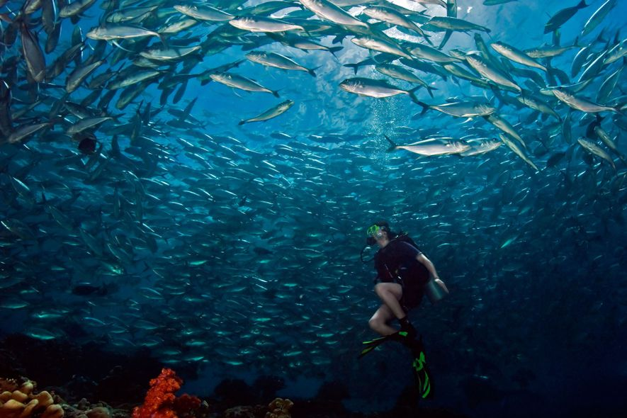 A SCUBA diving girl is enthralled by a swirling school of bigeye trevally jackfish at Barracuda …