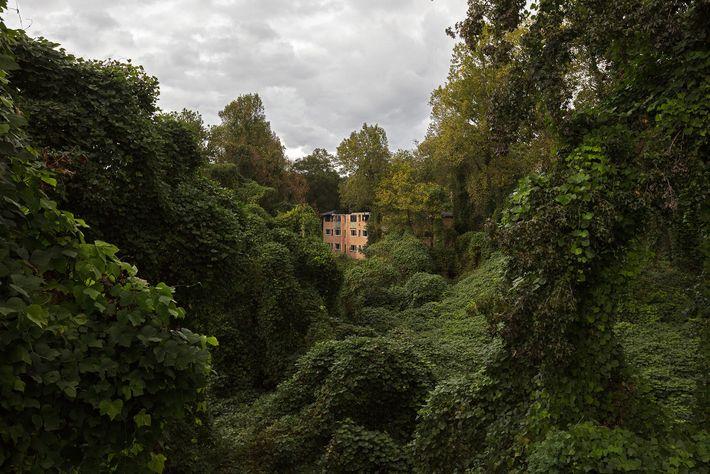 Invasive kudzu vines subsume part of the West Lake neighborhood in Atlanta, Georgia. Once purposefully planted ...