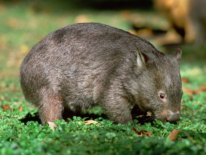 departments-animals-pouch-wombat