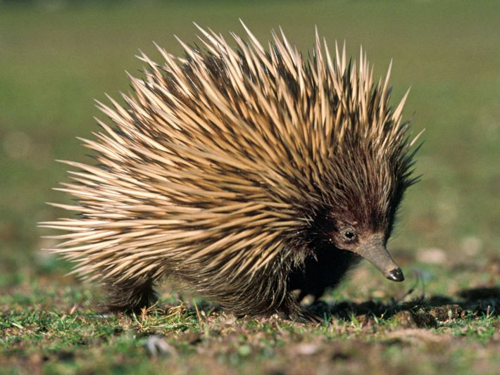 departments-animal-pouches-echidna