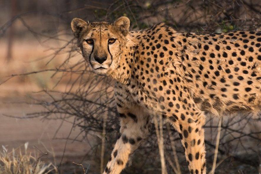 Cheetah Conservation Fund. Image: Slawek Kozdras
