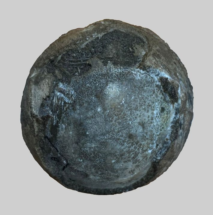 The fossilized egg from the Cretaceous period, containing a rare turtle embryo inside.