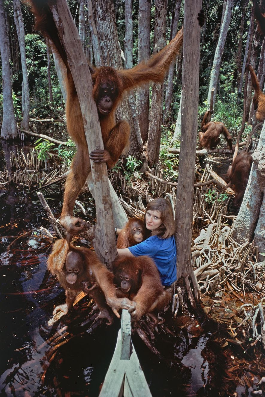 Biruté Galdikas's almost 50-year study of wild orangutans in Indonesia revealed their social lives and habits.