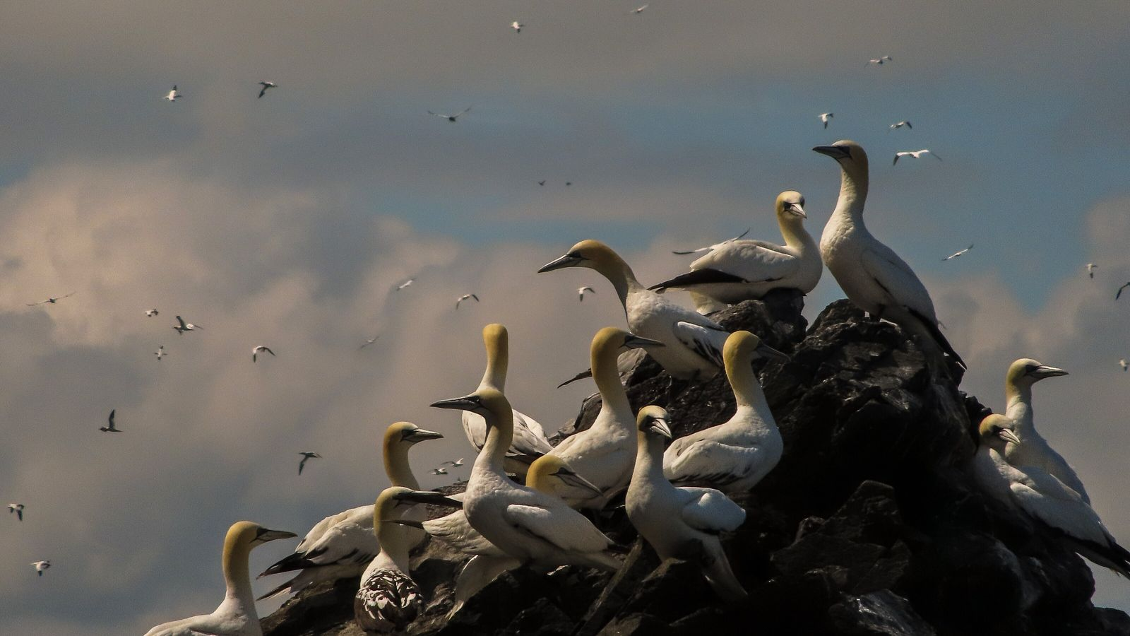 A flock of northern gannets perch on Bass Rock at the height of summer, a few ...