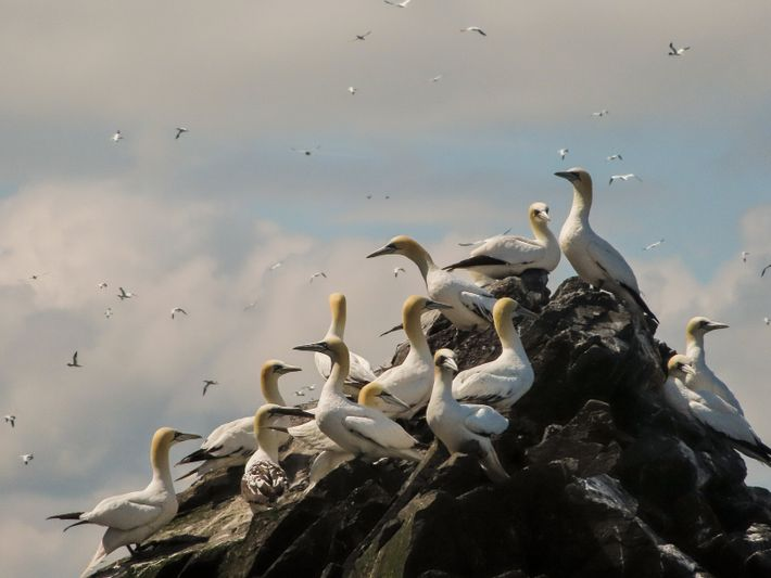A flock of norther gannets perch on Bass Rock at the height of summer a few months before their long migration south.