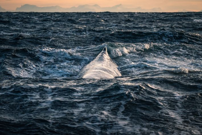 Spotting a dark sperm whale on a dark sea – and its blow vapour on a ...