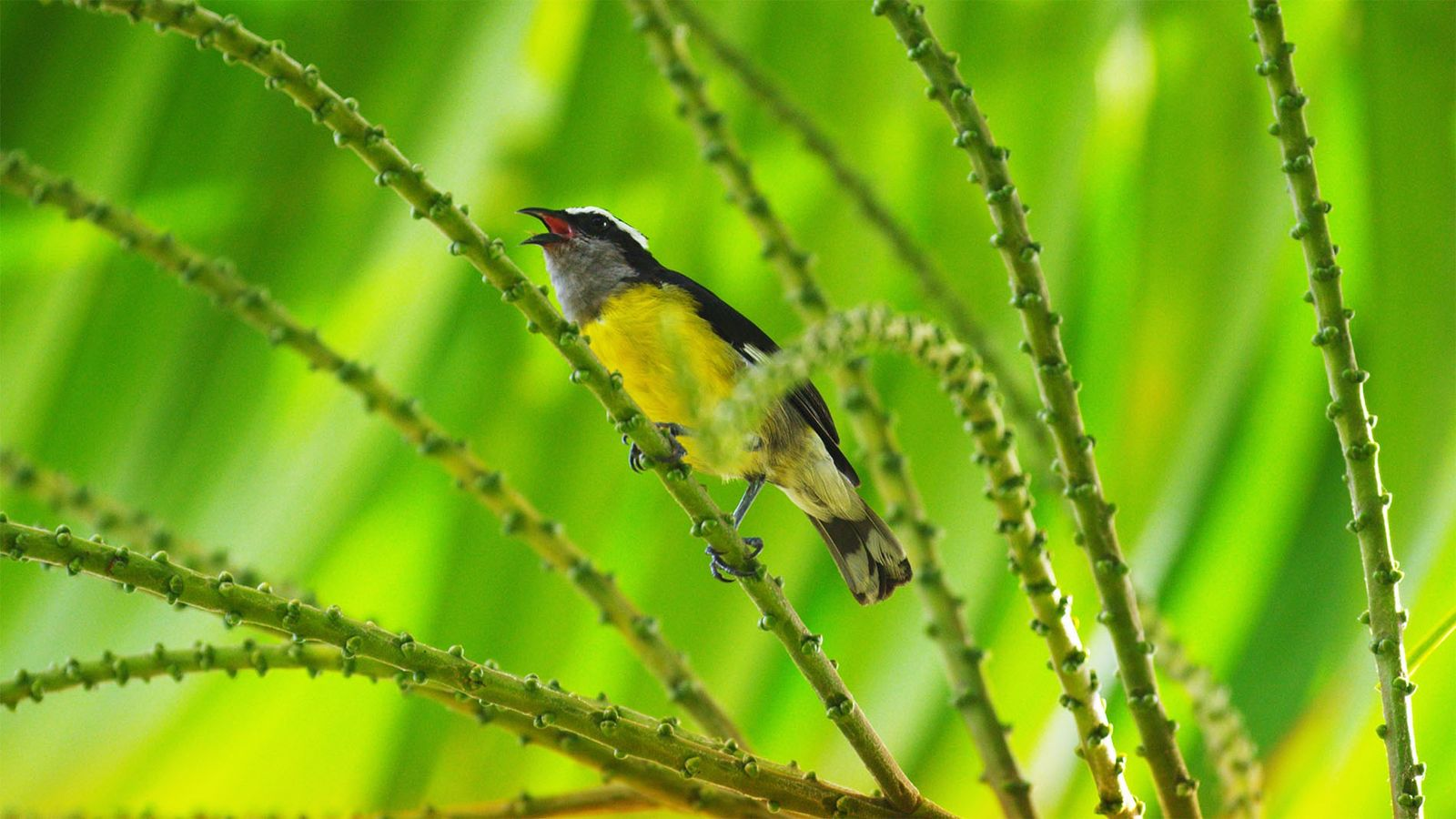 Fiery blooms and dancing birds: Tobago's jungles are full of life