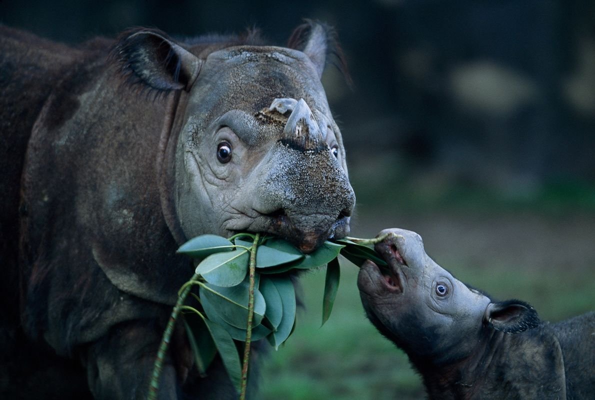 """A Sumatran rhino mother and calf touch noses at the Cincinnati Zoo. """"They can be fierce and ..."""