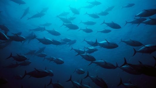 These popular tuna species are no longer endangered, surprising scientists