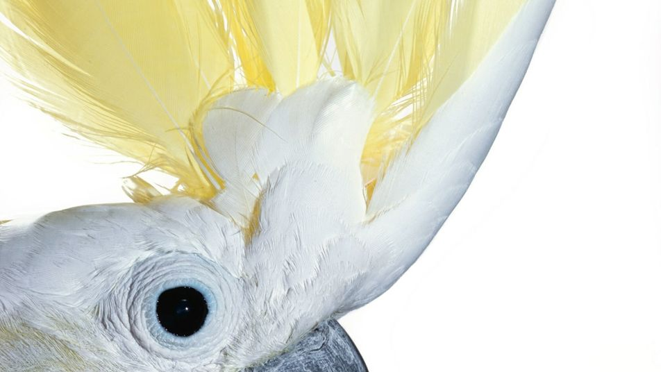 Wild cockatoos learn to open bins by copying others—first evidence of social learning