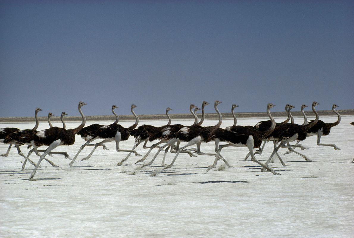 An ostrich flock runs across Namibia's Etosha Pan. The fleet-footed land birds can hit speeds of ...