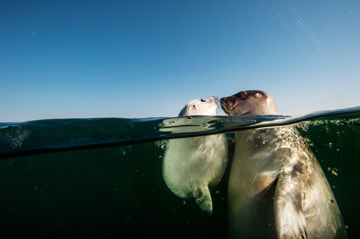 The harp seal's youth is fleeting—just like this moment shared between a mother and pup in ...