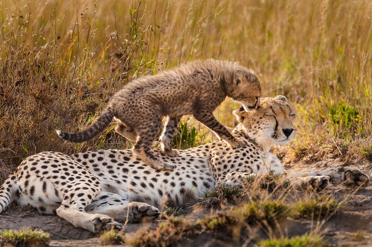 A cheetah family slows down for a bit of play in Serengeti National Park, Tanzania. Being a ...