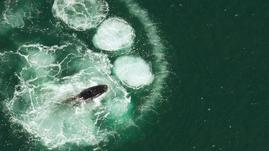 Humpback whales can't swallow a human. Here's why.