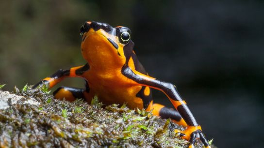 NationalGeographic_2275130 (frog)
