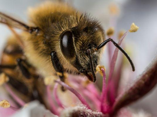 Honeybees are accumulating airborne microplastics on their bodies