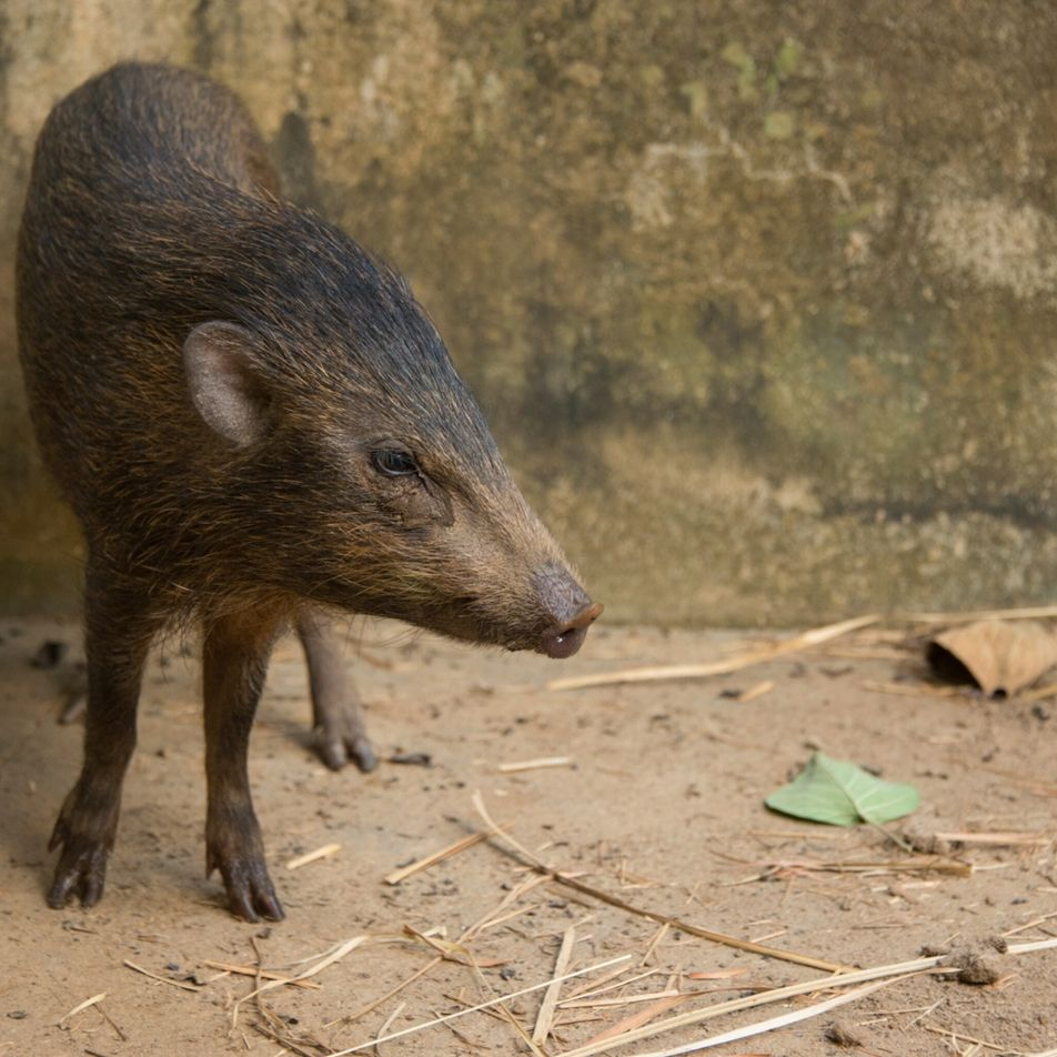 World's tiniest pig, once thought extinct, returning to the wild