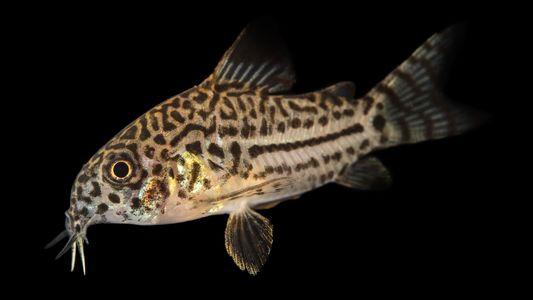 How these fish—'tiny tanks of the Amazon'—survive piranha bites